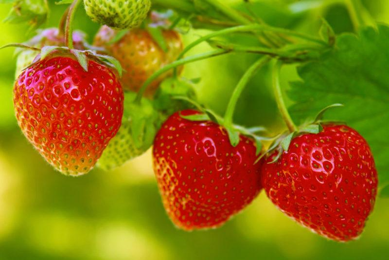 strawberries in the garden