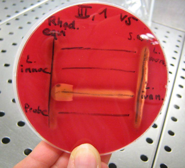 CAMP-Test_zur_Bestimmung_von_Listerien_auf_einer_Blutagarplatte