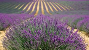 Growing lavender as a specialty crop for profit.
